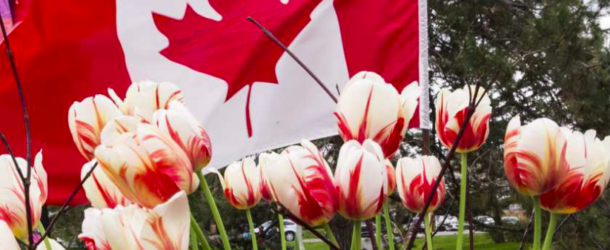 Official Canada 150 tulip blooming across the capital, country