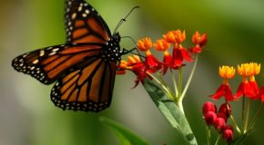 Monarch butterfly populations in Ottawa on the upswing